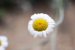 Floración de la manzanilla Fotos de archivo