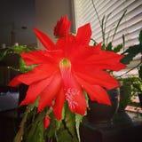Floración de la orquídea del cactus Fotografía de archivo