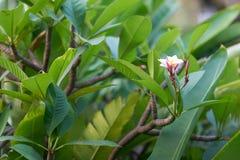 Floración de la orquídea rosada, blanca en ramas de las hojas del verde y de b foto de archivo libre de regalías