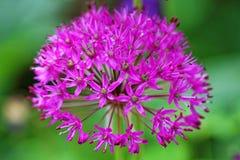 Floración de la púrpura de la cebolla Fotografía de archivo