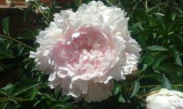 Floración de la peonía Imagen de archivo libre de regalías