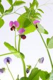 Floración de la planta de guisante Imagen de archivo libre de regalías