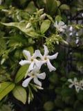 Floración de la planta de Jasminoides del Trachelospermum (jazmín de estrella) Fotografía de archivo