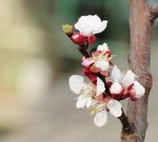 Floración de la primavera Foto de archivo libre de regalías