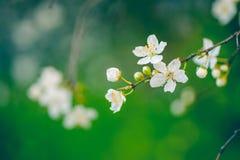 Floración de la primavera con el estambre Imagen de archivo