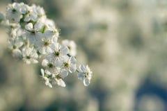 Floración de la primavera de árboles; Foto de archivo