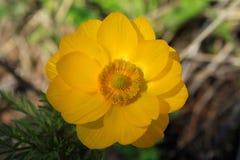 Floración de la primavera de Adonis en el bosque de Altai Fotos de archivo libres de regalías