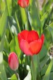 Floración de la primavera de las flores de los tulipanes en el jardín fotos de archivo libres de regalías