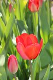 Floración de la primavera de las flores de los tulipanes en el jardín fotografía de archivo