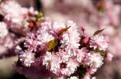 Floración de la primavera de Sakura Imágenes de archivo libres de regalías