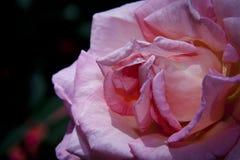 Floración de la rosa del rosa plena Fotos de archivo libres de regalías