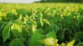 Floración de la soja en el cierre de la puesta del sol para arriba Fondo agrícola de la plantación de la soja metrajes