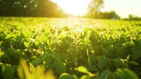 Floración de la soja en el cierre de la puesta del sol para arriba Fondo agrícola de la plantación de la soja almacen de video
