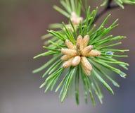 Floración de la vaina de la aguja del pino Imagen de archivo