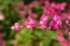 Floración de la vid coralina Imagen de archivo