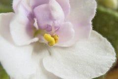 Floración de la violeta africana - ionantha del Saintpaulia Fotografía de archivo