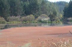 Floración de las algas rojas Foto de archivo