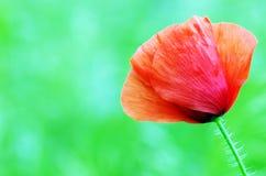 Floración de las amapolas fotografía de archivo