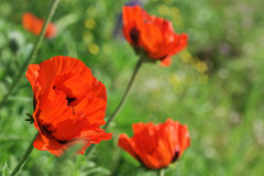Floración de las amapolas del escarlata Imagenes de archivo