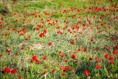 Floración de las anémonas Imagenes de archivo