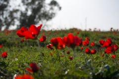 Floración de las anémonas Fotos de archivo