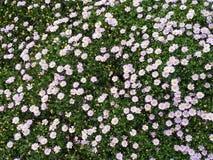 Floración de las flores Fotos de archivo libres de regalías