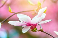 Floración de las flores blancas de la magnolia en efecto del inconformista Foto de archivo