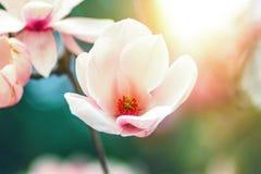 Floración de las flores blancas de la magnolia en tiempo de primavera Fotos de archivo