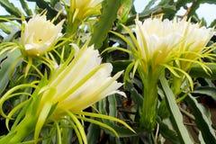 Floración de las flores blancas y dragón hermoso Imágenes de archivo libres de regalías