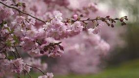 Floración de las flores de cerezo imagen de archivo libre de regalías