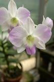 Floración de las flores de la orquídea Fotos de archivo libres de regalías