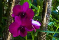 Floración de las flores de la orquídea Imagenes de archivo