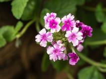 Floración de las flores de la petunia Imagen de archivo