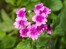 Floración de las flores de la petunia Foto de archivo