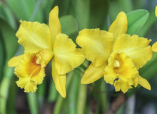 Floración de las flores de las orquídeas de Aphyllum del Dendrobium en primavera Fotos de archivo