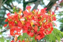 Floración de las flores de pavo real. Imagen de archivo