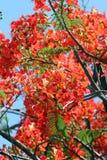 Floración de las flores de pavo real. Imágenes de archivo libres de regalías