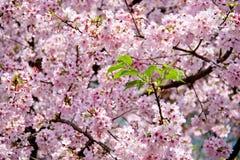Floración de las flores de Sakura Foto de archivo libre de regalías