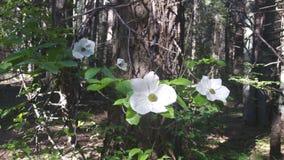 Floración de las flores del cornejo Fotografía de archivo