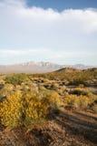 Floración de las flores del desierto Fotografía de archivo