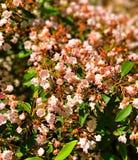 Floración de las flores del laurel de montaña Fotografía de archivo