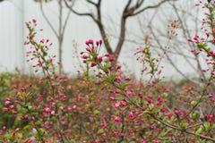 Floración de las flores del melocotón Foto de archivo