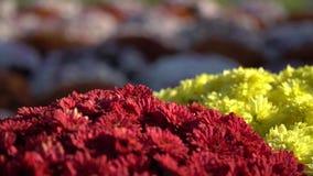Floración de las flores del primer Grupo de flores coloridas vibrantes que florecen en caída metrajes