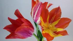 Floración de las flores del tulipán almacen de video