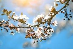 Floración de las flores de la cereza en tiempo de primavera Macro imagen de archivo libre de regalías