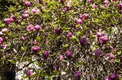 Floración de las flores de la magnolia imágenes de archivo libres de regalías