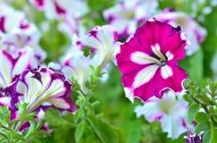 Floración de las flores púrpuras de la petunia Fotografía de archivo libre de regalías