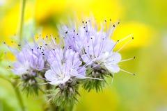 Floración de las flores de Phacelia Foto de archivo libre de regalías