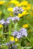 Floración de las flores de Phacelia Fotografía de archivo