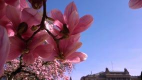 Floración de las flores rosadas del árbol de la magnolia en primavera, fondo floral, brotes que florecen contra el cielo azul e almacen de metraje de vídeo